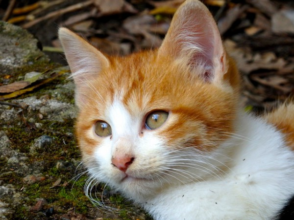turkish van cats japan