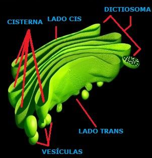 Dibujo del Aparato de Golgi indicando sus partes a colores