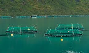 Marine Harvest Smolts - Salmon Watch Ireland
