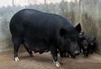 nbagr pig breeds
