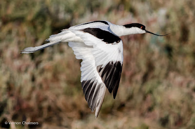 Pied Avocet in Flight Cape Town  : Canon EOS 7D Mark II / 400mm Lens