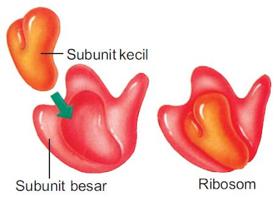 Gambar  . Struktur Ribosom