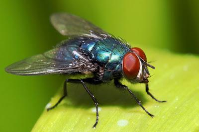 Lalat Hewan Berusia Pendek