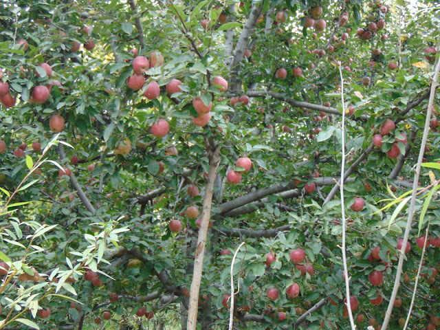 tree apple