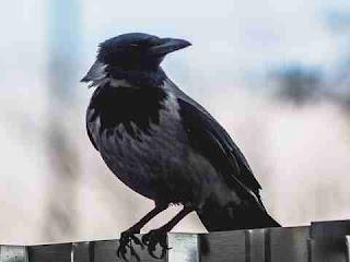 सपने में क्रो देखना sapne me crow dekhna