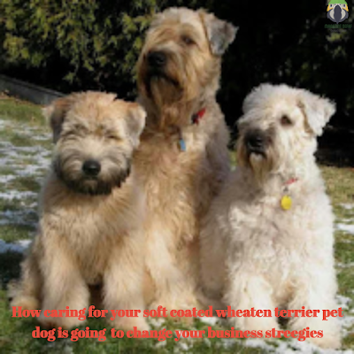 How caring for your soft coated wheaten terrier pet dogis going to change your business strategies