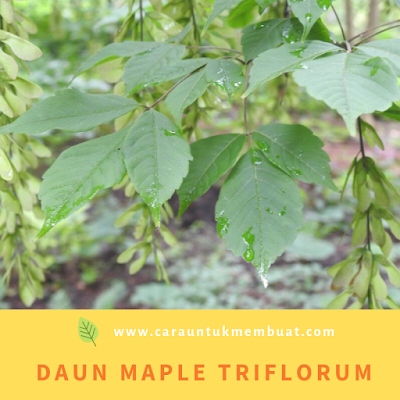 Daun Maple Triflorum