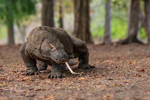 Benarkah Komodo Itu Dinosaurus Yang Masih Hidup?