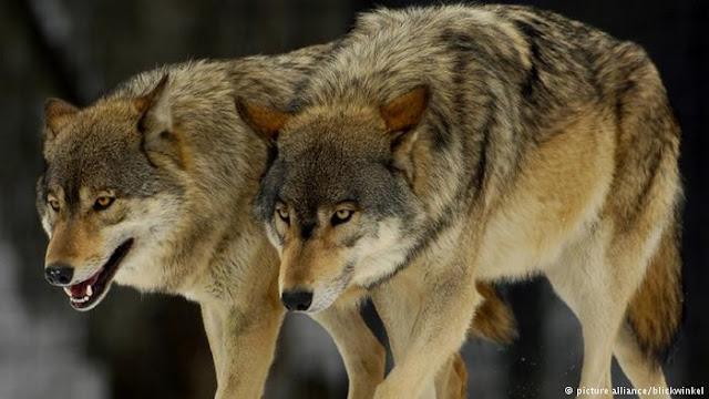 Как подлые порошенковские волки сжирают Украину — Лещенко. Видео