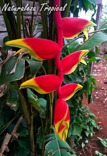 Inflorescencia de la Pinza de Langosta, Heliconia rostrata