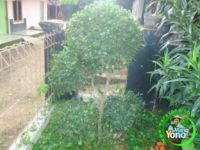 Jangan Kaget Kalau Pohon Serut Merontokan Daun