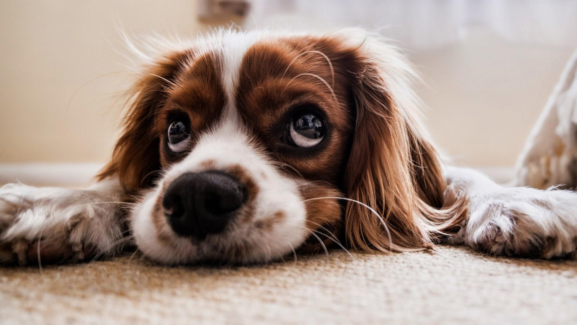 Cute Puppy HD Wallpaper