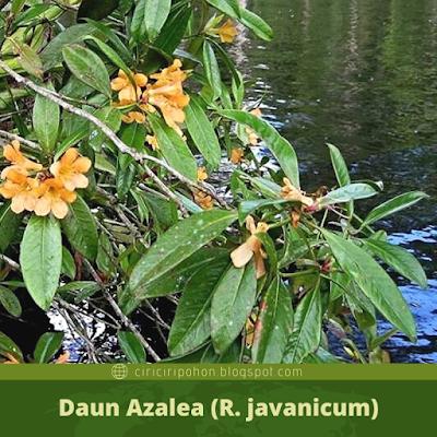 Daun Azalea (R.javanicum)