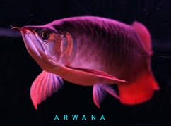 ikan arwana jamuran