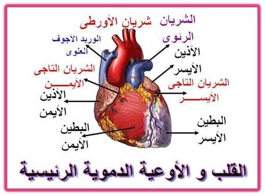 بحث حول القلب