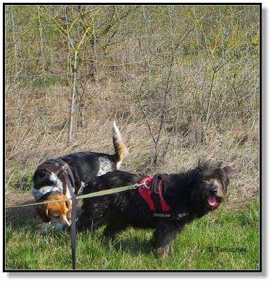 mit zwei Hunden unterwegs, das große Leinenwirrwarr
