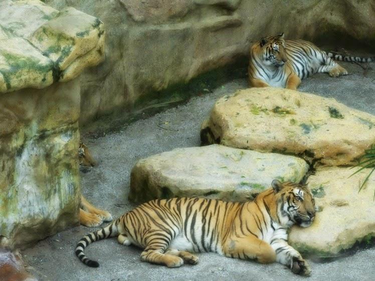 Tigres de bengala descansando, no Beto Carrero World