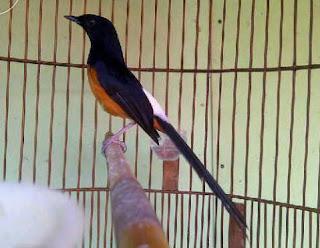 Burung Murai Batu - Menganal Sub Spesies Burung Murai Batu Copsychus Malabaricus Melanurus (Black-tailed Shama) - Penangkaran Burung Murai Batu