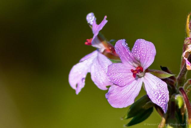 Small Flower Kirstenbosch National Botanical Garden Cape Town Vernon Chalmers Photography