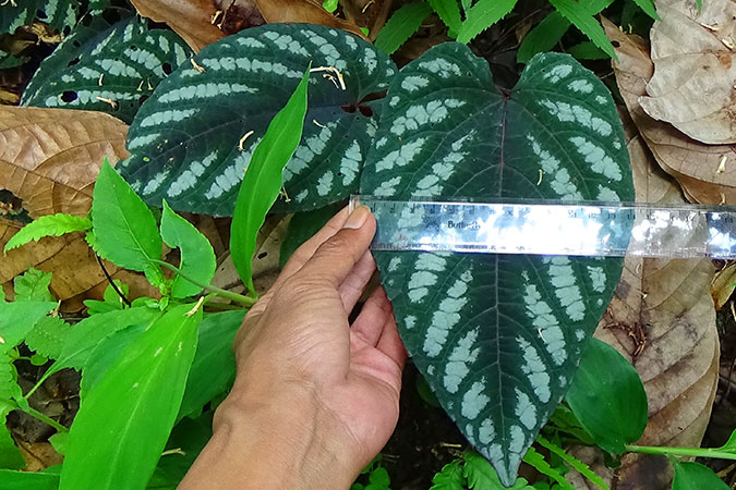 Dlium Sirih keraton or keraton pepper (Piper bandoro) and a name