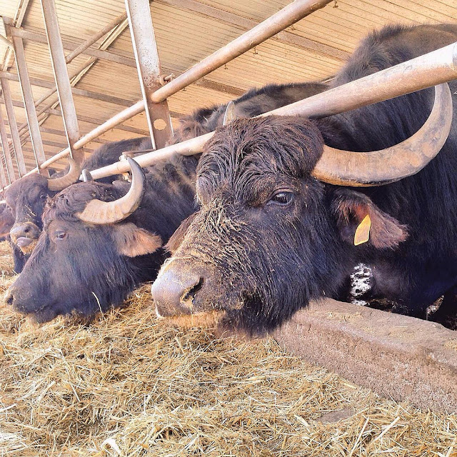 bufala is Italian for female buffalo