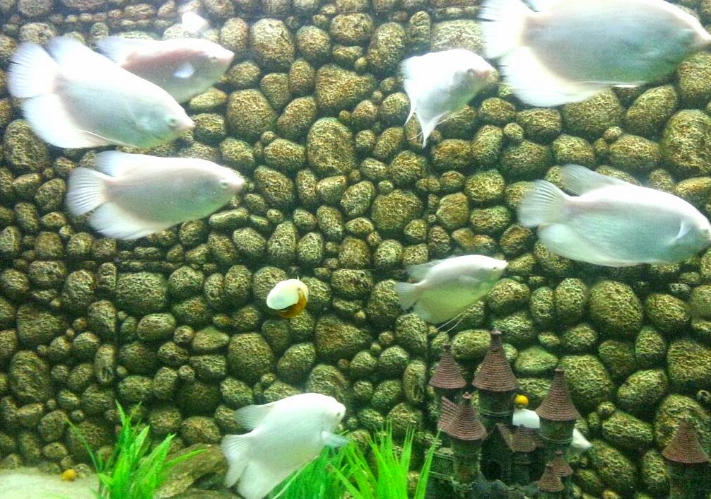 fresh water fish, surat aquarium fish