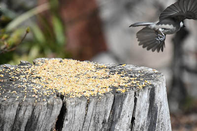 Photo of a chickadee flying from a stump used as a bird feeder