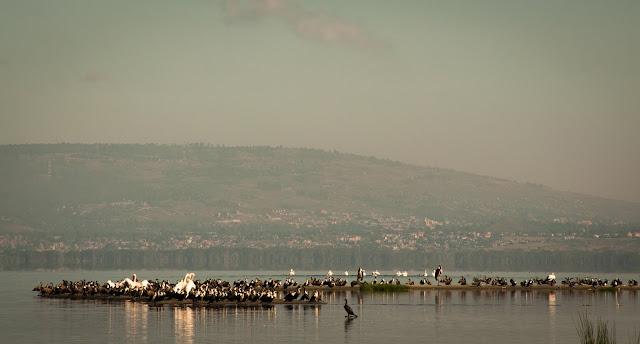 Pelicans; Lake Nakuru NP, Kenya
