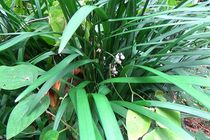 Dlium Lily turf (Ophiopogon caulescens)