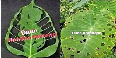 Viral Setelah Janda Bolong Sekarang Tanaman Janda Gatel Duda Korengan Dan Rondo Meteng