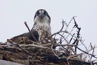 Close up of Osprey on its nest, PEI, Canada - by Matt Beardsley, Apr. 2017