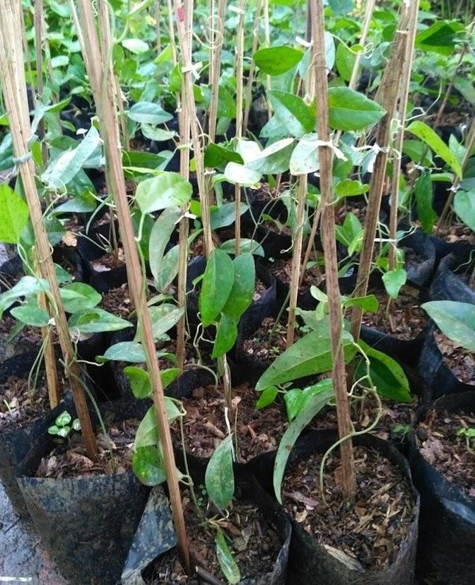 Bibit Tanaman Cincau Merambat Tanaman Cincau Hijau Jelly Rambat Pohon Cincau Jelly Lubuklinggau