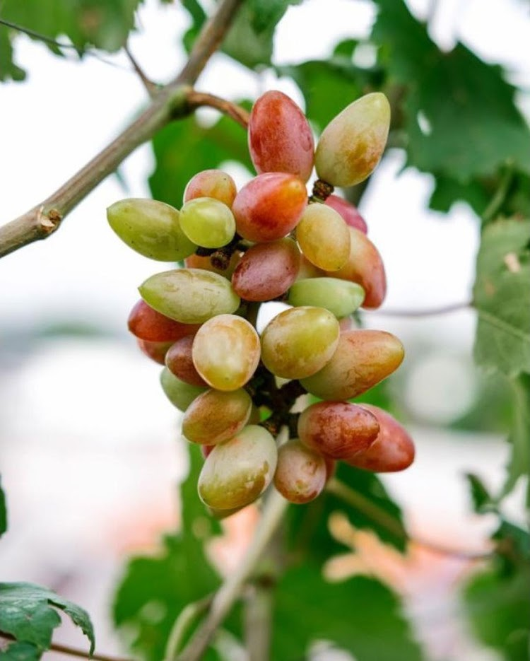 bibit anggur import new baikonur genjah Subulussalam