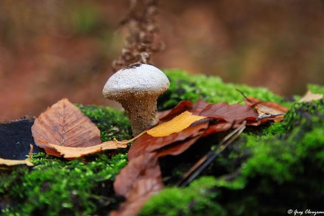 Lycoperdon perlatum, la Vesse-de-loup perlée, Apremont, Forêt de Fontainebleau
