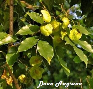 tanaman sonokembang | tanaman angsana | jual bibit sonokembang | jual bibit angsana | budidaya tanaman angsana | pohon angsana | pohon sonokembang