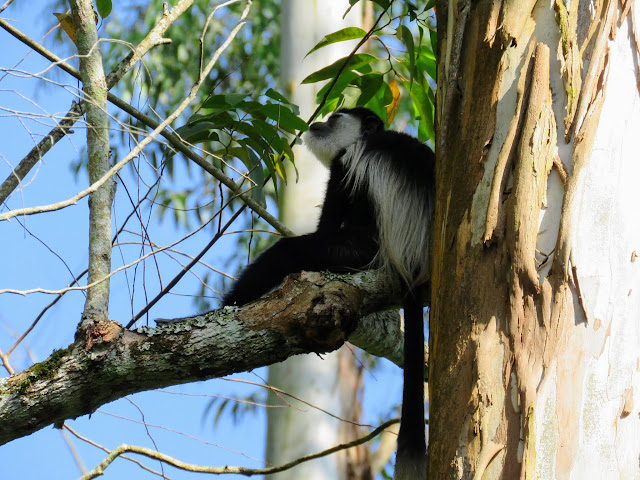 Black and white colobus monkey at Kibale Forest Camp in Western Uganda