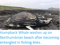 https://sciencythoughts.blogspot.com/2019/09/humpback-whale-washes-up-on.html