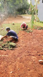 Jual Rumput Gajah Mini Murah | Jasa Pasang Tanam Rumput | Petani Rumput Gajah Mini
