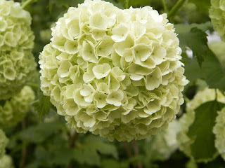anthemion λουλουδια