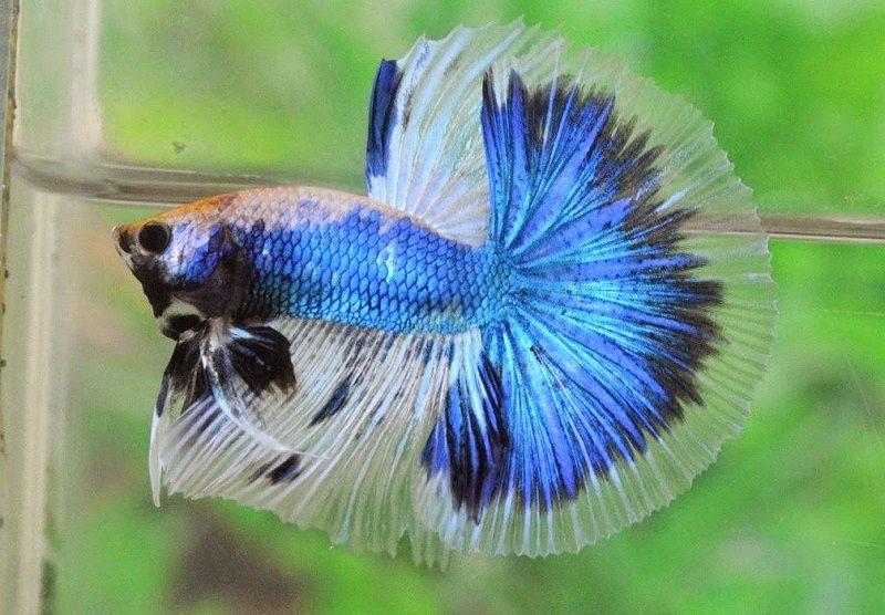 Image Blue Betta Fish Names Halfmoon