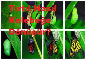 Tırtıl Nasıl Kelebeğe Dönüşür?