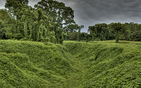 Kudzu out competes everything from grass to plants and even mature healthy trees