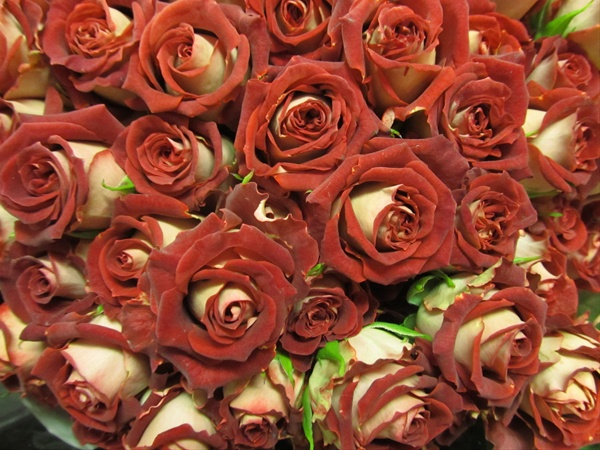 Tiramisu rose
