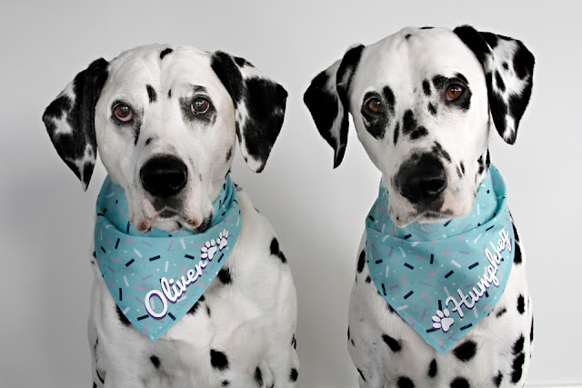 Dalmatian dogs wearing personalised birthday party bandanas