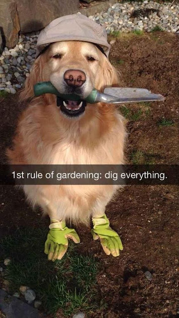 golden retriever garden, golden retriever digging, golden retriever meme, dog meme, dog garden dig, dog digging meme, dog digging funny, dog wearing garden gloves, dog with shovel, dog with spade,