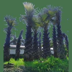 Jual Pohon besar siap kirim ke seluruh Indonesia