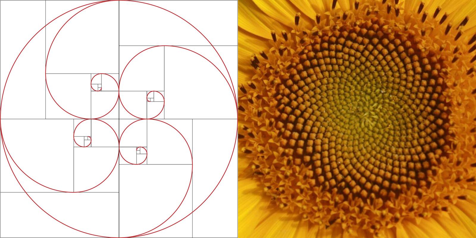 Golden Rasio dari Bunga Matahari komposisi dadar