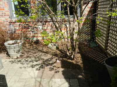 Roncesvalles Toronto spring garden cleanup after by Paul Jung Gardening Services
