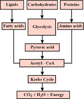 How energy is formed from oxidation of carbohydrates, fats and proteins? Correct the dagram below.