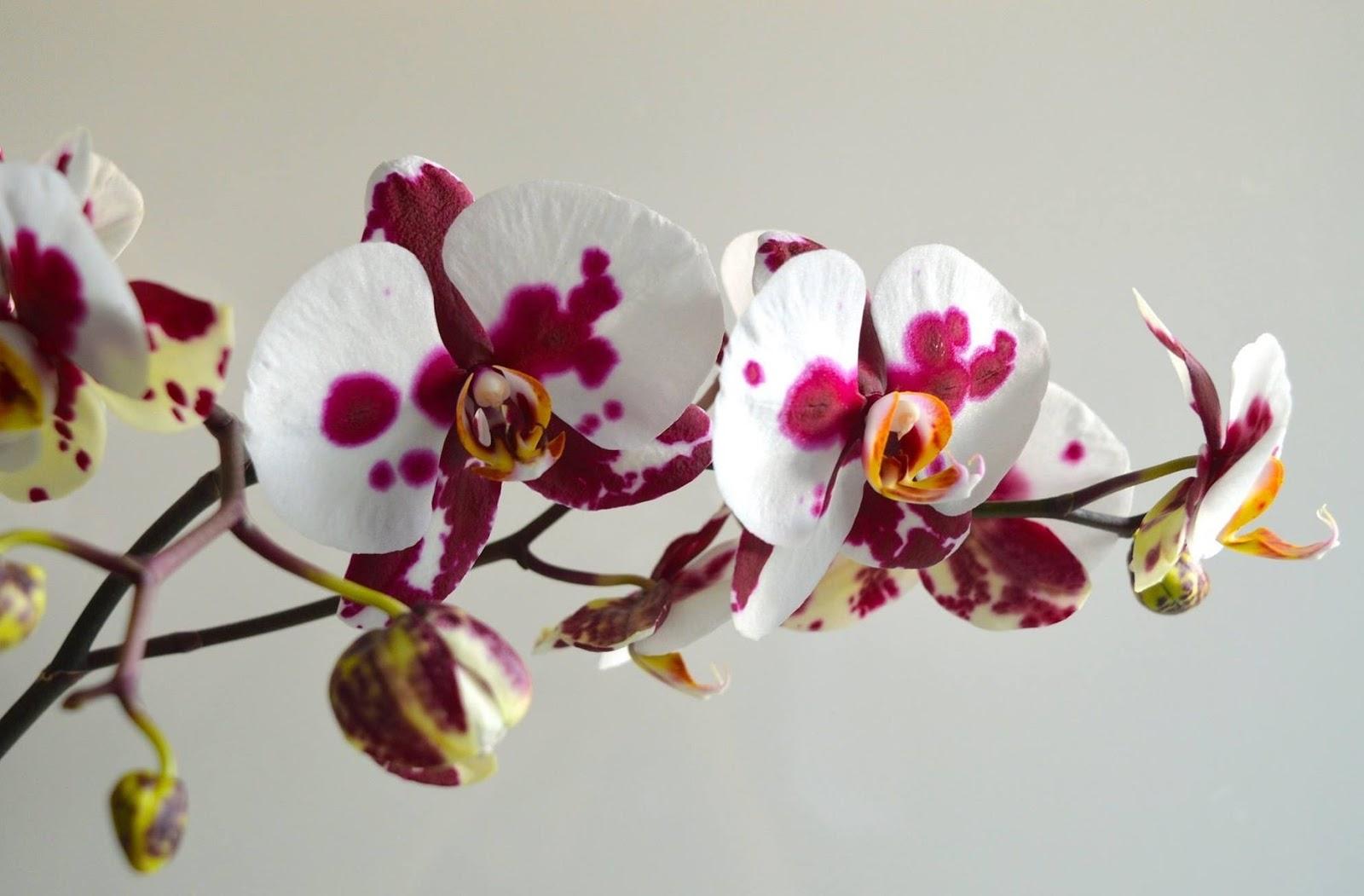 Gambar bunga anggrek variegata